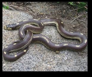 Oc Snake Removal Snake Id